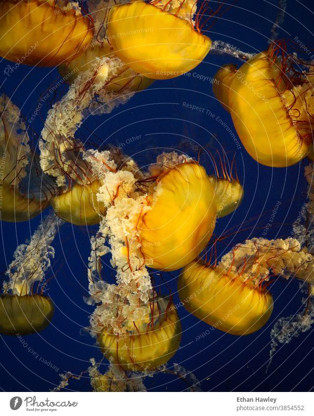 im Aquarium schwimmende Quallen pulsierend Wasser blau Unterwasseraufnahme Meer mehrfarbig gelb marin Tier Meerestier unter Wasser Meeresleben Natur
