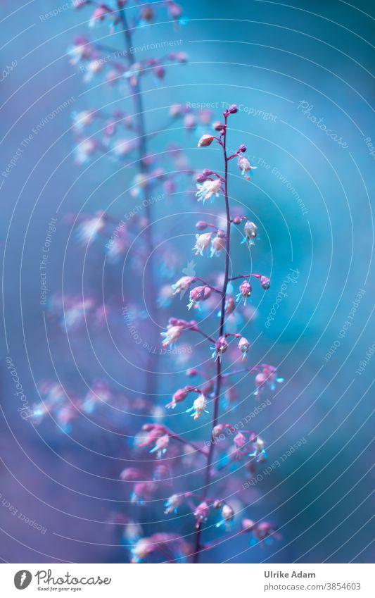 Farbkombination I Zarte rosa Blüten des Purpurglöckchen (Heuchera) verschmelzen harmonisch mit blauen Hintergrund Rosa Pink Blau pink Blume Pflanze Natur