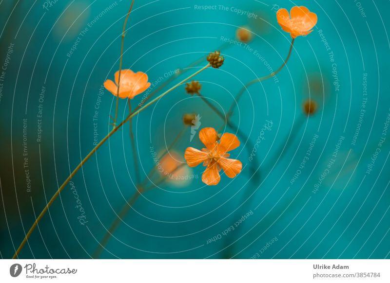 Die Butterblume - Zarte Blüten des Hahnenfuß ( Ranunculus ) sonnengelb Blumen Wiese Natur Pflanze Blühend Sommer Frühling Außenaufnahme Garten Menschenleer