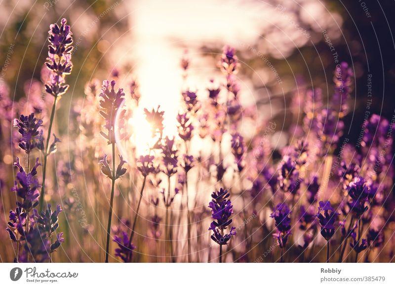 Méfiance en violet II Natur Pflanze Sonnenlicht Blume Blüte Lavendel Wiese ästhetisch Duft natürlich Wärme violett Frühlingsgefühle träumen Misstrauen Idylle