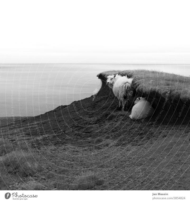 Schafe Meer Dünen Wall Gras Wellen Wind Fell Schutz Paar Wasser Küste Landschaft Ferien & Urlaub & Reisen Wolken Schwarzweißfoto schauen gucken beobachten