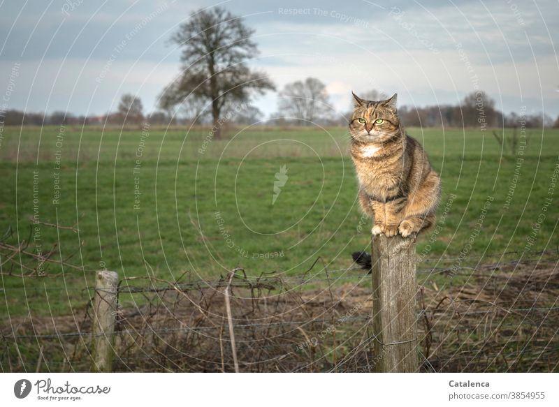Die getigerte Katze auf dem Zaunpfahl überblickt ihr Jagdrevier Fauna Flora Tier Haustier beobachten klettern ruhig sitzen Pflanze Gras Baum Wiese Winter Himmel