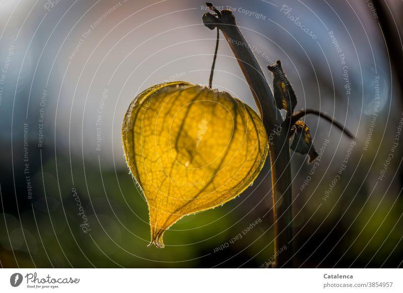 Eine gelber Lampion leuchtet am Abend Design Vergänglichkeit Herbst Garten Frucht Samen vertrocknen Lampionblume Physalis Pflanze Flora Natur hängen leuchten