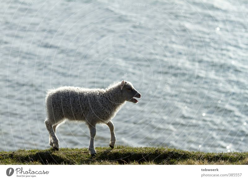 Lamm auf der Suche nach Mutter Natur Wasser Gras See Tier Haustier Nutztier Fell 1 Tierjunges schreien Traurigkeit wandern grün schwarz weiß Gefühle Stimmung
