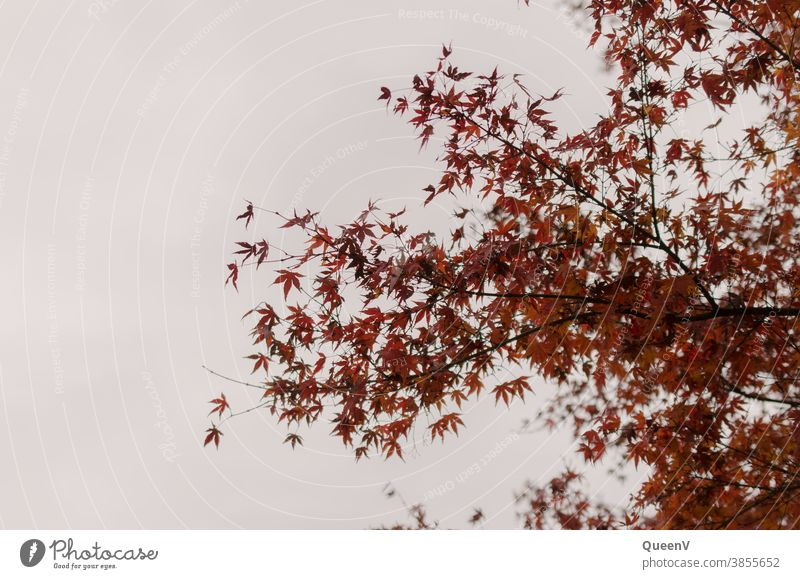 Rote Fächerahorn Blätter in Herbst mit grauem Himmel rot Ahorn Oktober November Stimmung Baum Natur Blatt Jahreszeiten fallen Hintergrund braun natürlich