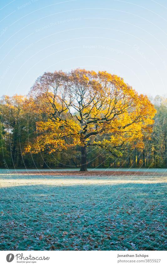 Schöne alte Eiche auf einer Waldwiese mit Sonne und Frost Chemnitz Deutschland Küchwald November Herbsthintergrund Herbstfarben Herbstwald Herbstlandschaft