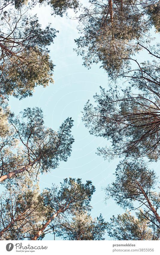 Wipfel der Bäume über blauem Himmel Ansicht vom Boden Hintergrund Schönheit Ast Textfreiraum Ökologie Umwelt Laubwerk Wald grün wachsen Wachstum natürlich Natur