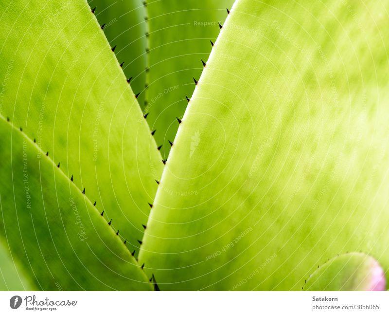 Detail Textur und Dornen am Rand der Bromelienblätter Hintergrund grün Pflanze Blätter Garten Natur tropisch Flora Stachel botanisch Blatt Makro Nahaufnahme