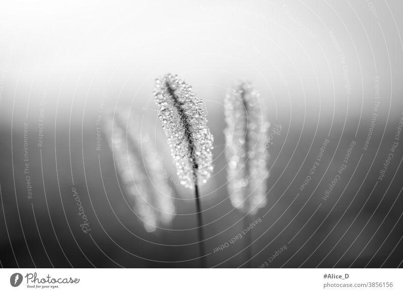 Naturwiesengräser in Nahaufnahme mit Tautropfen im Morgennebel in Schwarzweiß alopecuroides Herbst Hintergrund schön schwarz auf weiß Blütezeit botanisch
