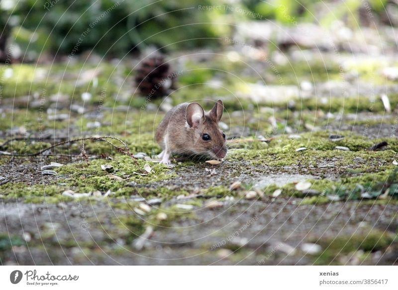 Die Waldmaus mit runden Ohren hockt auf Pflastersteinen mit Moos und schaut mit ihren Knopfaugen in die Kamera Maus Nagetier Tier Wildtier Apodemus sylvaticus