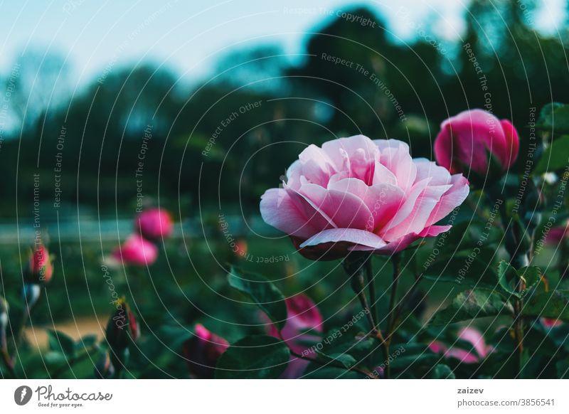 Nahaufnahme einer schönen hellrosa Rose in einem Garten Roséwein Rosaceae ornamental Gärten Schnittblumen wirtschaftlich Duftwasser essbar Vitamin Blume Blüte