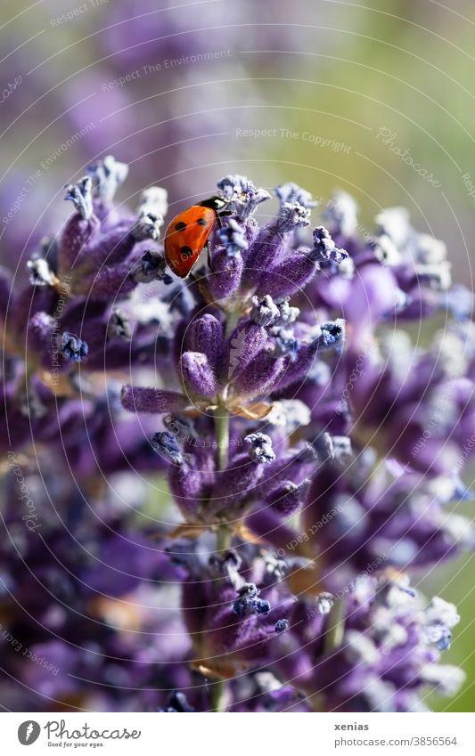 Ein roter Marienkäfer mit drei schwarzen Punkten an der Seite krabbelt über Lavendelblüten Käfer Insekten Tier lila violett Blüte Glück Sommer Frühling krabbeln
