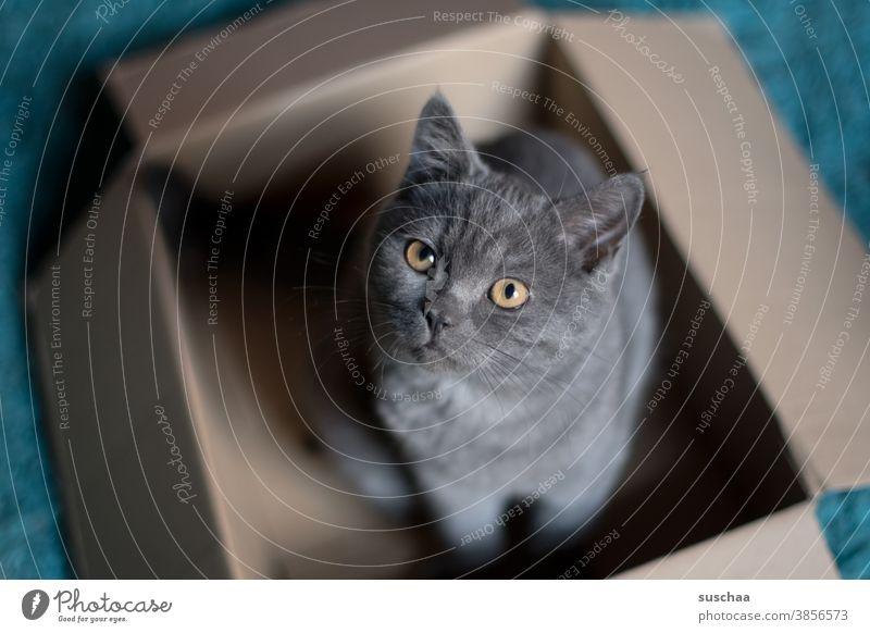 katze im karton Katze Kater Katzenkind Karton spielen gucken sitzen Haustier Hauskatze Britisch Kurzhaar Tier niedlich Tierporträt Blick Fell Tiergesicht