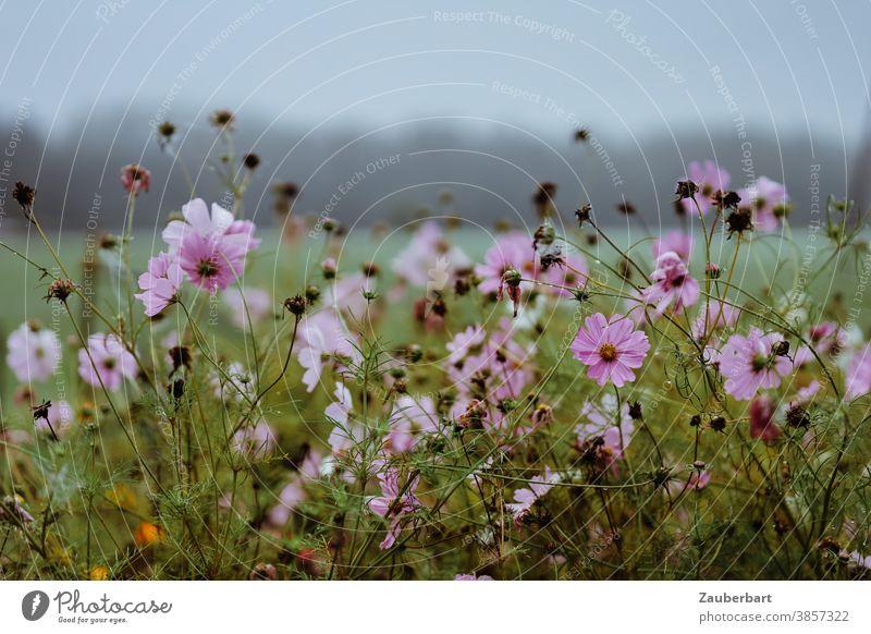 Rosa Blüten der cosmea bipinnata (Schmuckkörbchen) vor einer nebligen Wiesenlandschaft rosa Cosmea Schmuckblume grau Regen Blume Pflanze blühen Detailaufnahme