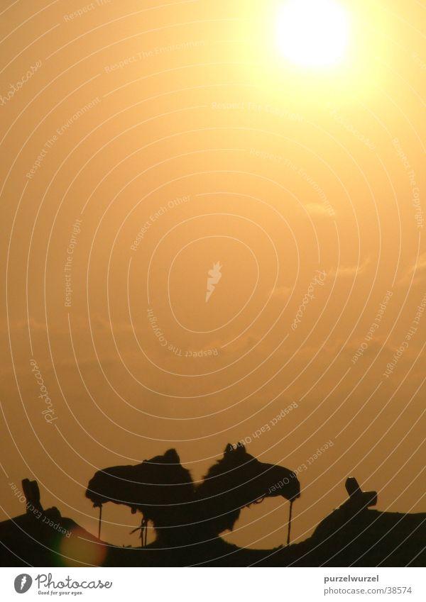 Kamele Natur Sonne Ferne Wärme Physik Zufall