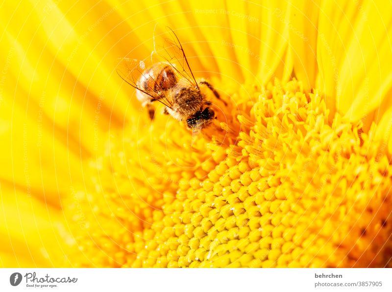 SONN(enblumen)TAG Detailaufnahme gelb Kontrast Wildtier Tierporträt Farbfoto Frühling duftend Duft Sommer Außenaufnahme Pflanze Natur wunderschön blühen Blüte