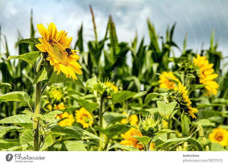 SONN'(tags)BLUMEN Sonnenschein Hoffnung Wiese Nahaufnahme Sonnenblume Pollen schön Landschaft Garten prächtig Sonnenlicht Blütenstaub Wärme Umwelt Blütenblatt