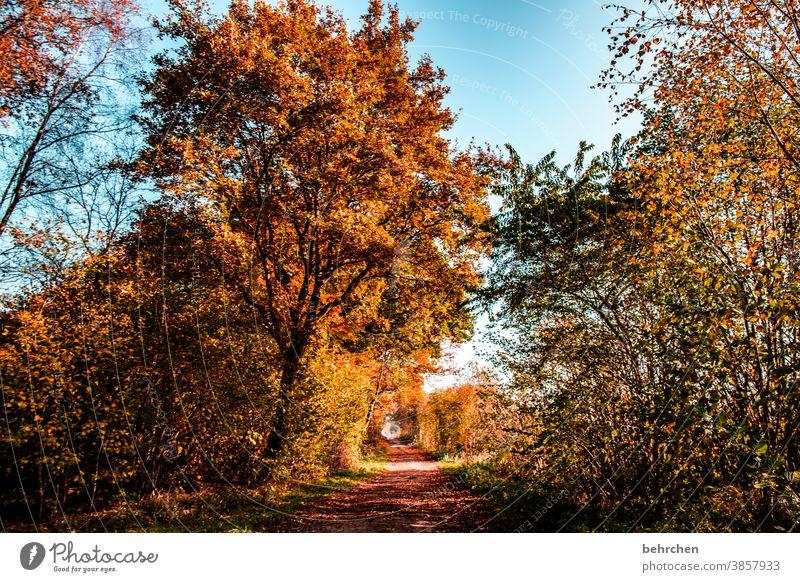 goldener sonntag fallende Blätter Sonnenlicht Kontrast Licht Außenaufnahme Farbfoto Fußweg schön fantastisch Wald Sträucher Blatt Baum Pflanze Herbst Landschaft