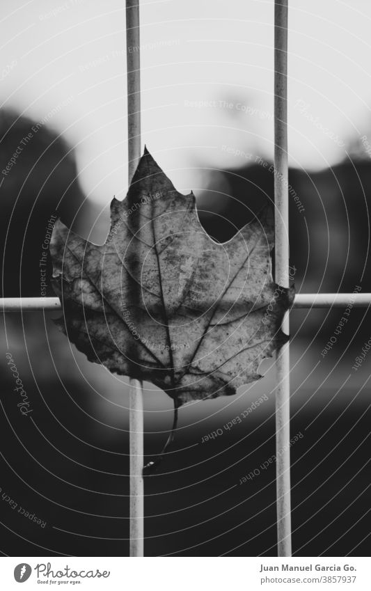 Trockenes Blatt eines Baumes in der Stadt, das vom Wind in einem Metallzaun gefangen wurde Herbstwetter Umwelt Tag Menschenleer Herbstbeginn fallend
