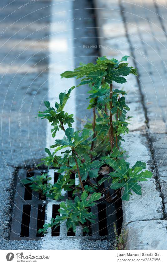 Unerwarteter Feigenbaum, der aus einem städtischen Abwasserkanal sprießt nicht einschränken spontan wachsen Bürgersteig geboren werden Rand Ficus carica