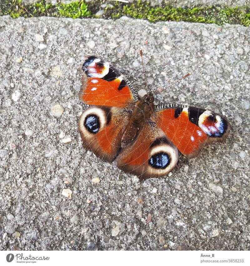 Tagpfauenauge ruht sich aus Schmetterling Falter Auge Fußweg Weg schwach bunt filigran empfindlich Flügel Muster Insekt Tierporträt Beton Betonboden