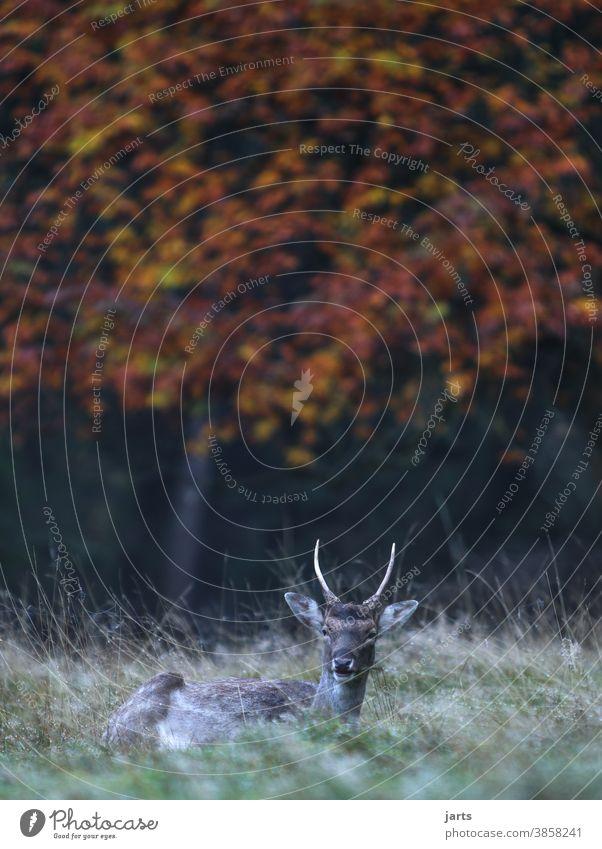 Rehbock Wald Wiese Herbst Baum Wild ausruhend Tier Wildtier Außenaufnahme Farbfoto Natur grün Umwelt Menschenleer natürlich Gras Feld Textfreiraum oben