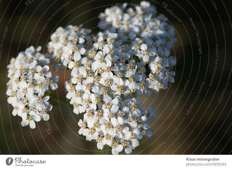 Schafgarbe (Achillea millefolium) frühling blume aufblühen weiß baum natur cherry ast pflanze garden makro jahreszeit floral green blatt schönheit close up