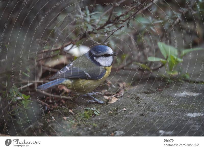 Blaumeise auf der Terrasse Vogel Tier Außenaufnahme Natur Farbfoto Meisen 1 Wildtier Tag Tierporträt Schwache Tiefenschärfe Flügel Tiergesicht Menschenleer