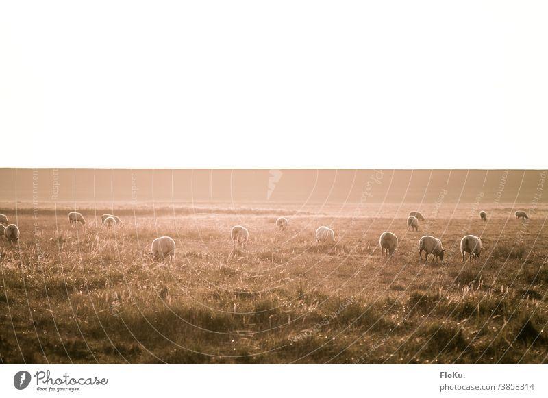 Schafe am Deich im herbstlichen Sonnenlicht Dithmarschen Norddeutschland Herde Gras Natur Umwelt Koog Sonnenschein Farbfoto Wiese Außenaufnahme Landschaft