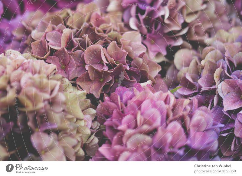 Hortensien Blüten in pink und rosa Hortensienblüte blühende Hortensie Pflanze Hydrangea Blühend Sommer Garten Natur Gartenpflanzen natürlich