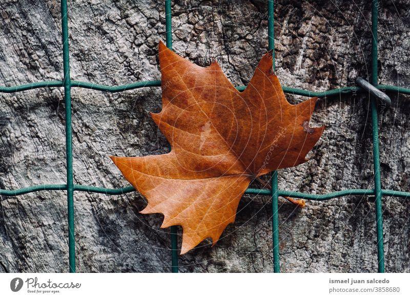 braunes Ahornblatt auf dem Metallzaun in der Herbstsaison, Herbstblätter und Herbstfarben Blatt Zaun Drahtzaun metallisch trocknen Trockenblatt fallende Blätter