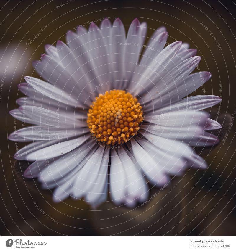 schöne weiße Gänseblümchen im Garten im Herbst Blume Blütenblätter Pflanze geblümt Flora Natur dekorativ Dekoration & Verzierung romantisch Schönheit