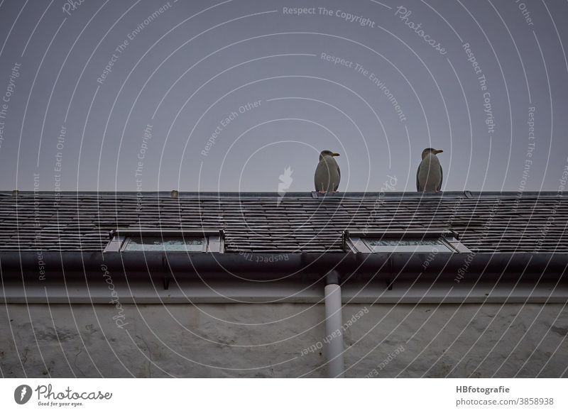 Zwei Möwen auf dem Dach Vögel Dachfenster Hausdach Seevögel Tier Blick aufs Dach Fernblick