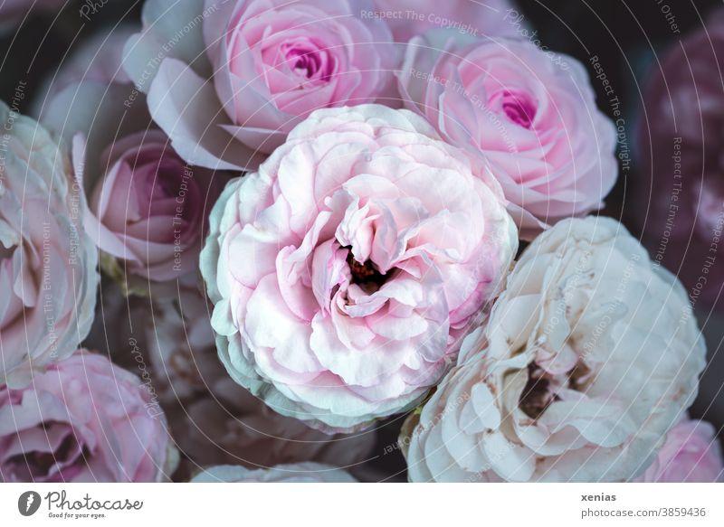 Eine Rose in Rosa unter vielen Rosen rosa Blüte Blume Sommer Pflanze schön Duft Blühend Romantik Garten xenias Rosenblüte Liebe Blütenblatt