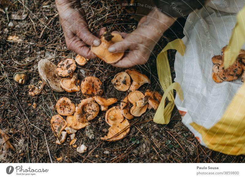 Pilze aus nächster Nähe von Hand pflücken Senior Kommissionierung Pilzsucher Speisepilz essbar Wald Herbst authentisch Pilzhut Ernährung Lebensmittel