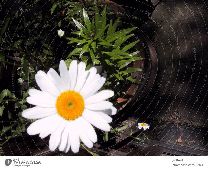 BLuMe weiß Blume gelb Löwenzahn