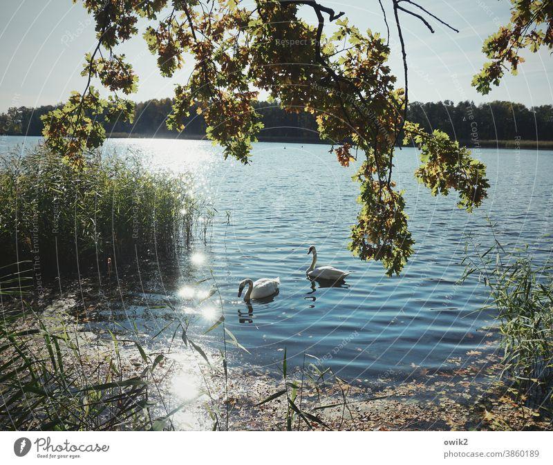 Paartherapie Schwan Wildtier Tierpaar 2 Menschenleer Licht Tierporträt verträumt Sonnenlicht Landschaft geheimnisvoll Panorama (Aussicht) Totale Kontrast