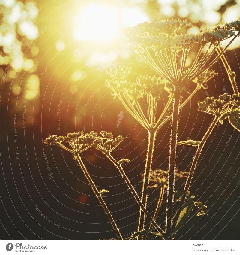 Schafgarbe Gegenlicht Leuchtkraft genießen Duft Wiese Frühling Landschaft Textfreiraum unten wild Klima Totale glänzend Zufriedenheit Wachstum Lebensfreude