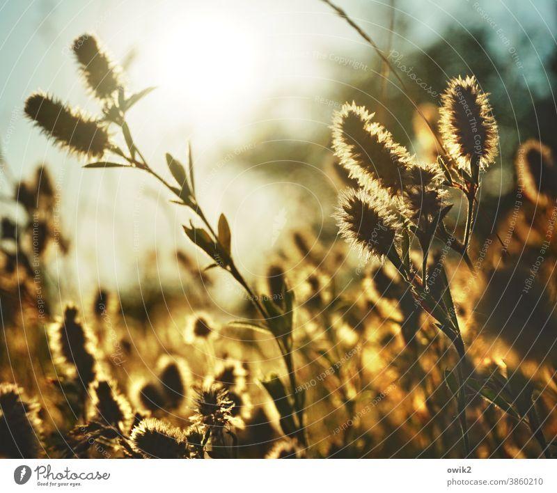 Warmer Abend Wildpflanze flirrend warme Farben Lichterscheinung Idylle rötliches licht Detailaufnahme Farbfoto Halm Sonnenlicht Textfreiraum oben Menschenleer
