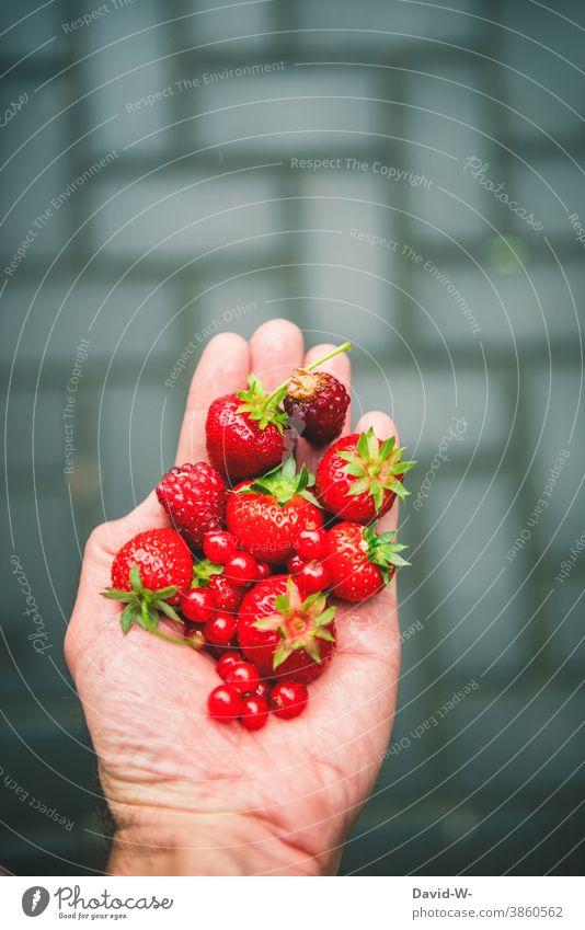 frische leckere rote gesunde Beeren in einer Hand Gesunde Ernährung Erdbeeren Himbeeren Johannesbeeren Vitamine