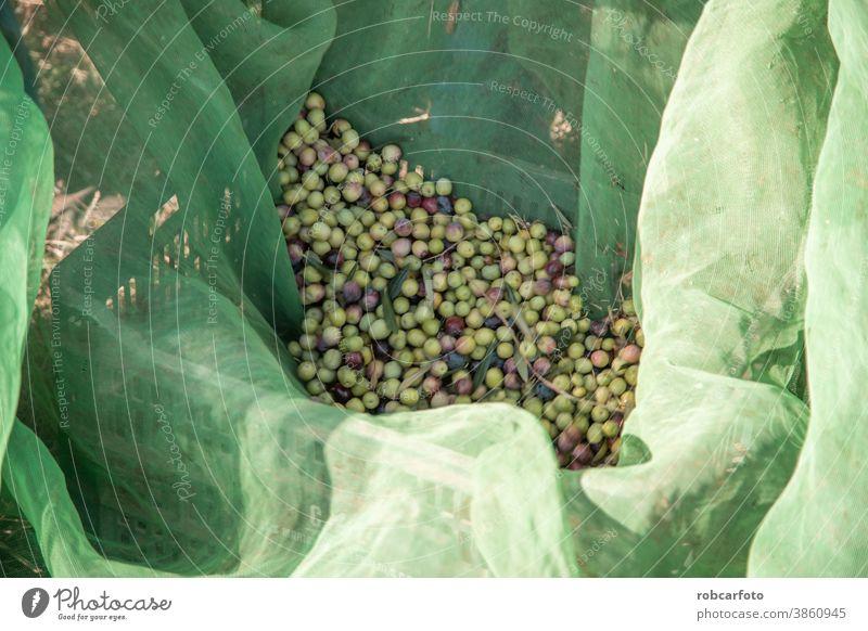 bauern, die oliven auf einem feld in spanien sammeln Landwirt mediterran Lebensmittel Natur grün Ernte Ackerbau Frucht Baum Bauernhof ländlich Bodenbearbeitung