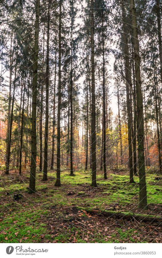 Wald, Tannenwald, Buchenwald Kiefern Moos Natur Außenaufnahme Landschaft grün Baum Tag Umwelt natürlich Gras Sonnenlicht Ferien & Urlaub & Reisen Lebensfreude