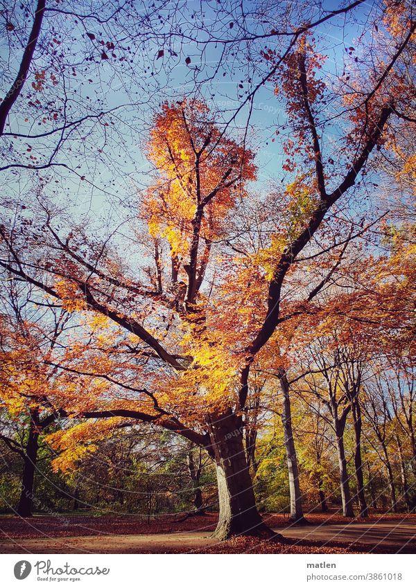 Brennender Baum Herbst Farbenspiel Laubbaum Natur Menschenleer Himmel Wolkenloser Himmel leuchtende Farben mobil