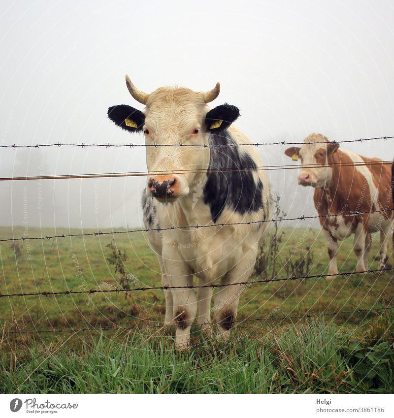 neugierig - zwei Kühe stehen im Morgennebel auf einer Weide hinterm Zaun und schauen neugierig zur Fotografin Kuh Tier Rind Wiese Stacheldraht Nebel Nebelmorgen