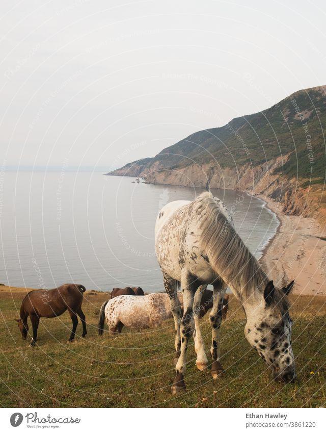in Strandnähe grasende Wildpferde Pferde Gras Sommer Landschaft Wiese wild Freiheit Küste Ferien & Urlaub & Reisen Tier Berge