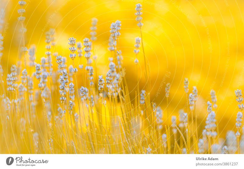 Lavendel-Traum , oder blau trifft gelb 😉 Schwache Tiefenschärfe Unschärfe Hintergrund neutral Freisteller Menschenleer abstrakt Nahaufnahme Außenaufnahme