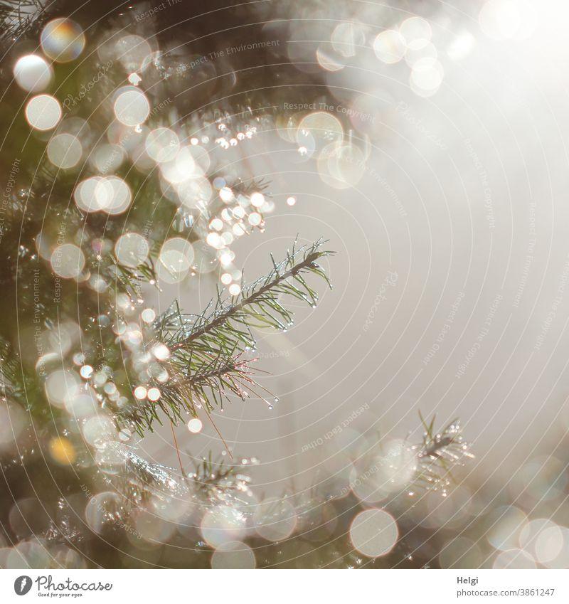 festlich - Morgentau auf Tannenzweigen im Gegenlicht mit Bokeh und nebeligem Textfreiraum Zweig Tau Tautropfen Nebel Weihnachten weihnachtlich