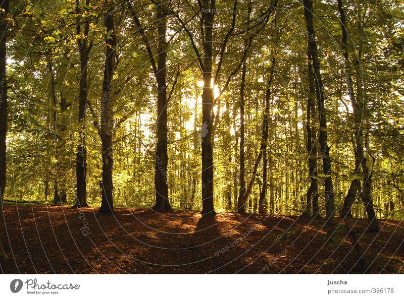 leuchtender Wald Umwelt Natur Pflanze Erde Sonne Sonnenlicht Schönes Wetter Baum natürlich Wärme grün Stimmung Waldboden Baumkrone Beleuchtung strahlend Blatt
