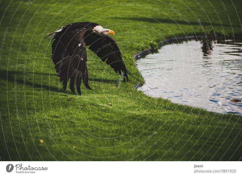 Weißkopfseeadler im majestätischen Anflug auf ein Gewässer Greifvogel Seeadler Wappenvogel Nordamerika Vogel Jäger Schnabel Feder Federkleid Blick schön Auge