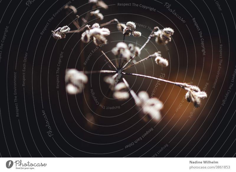 Vertrocknete Blume vertrocknet Pflanze Natur Blüte verblüht Menschenleer Farbfoto welk trocken Vergänglichkeit Nahaufnahme Herbst Schwache Tiefenschärfe